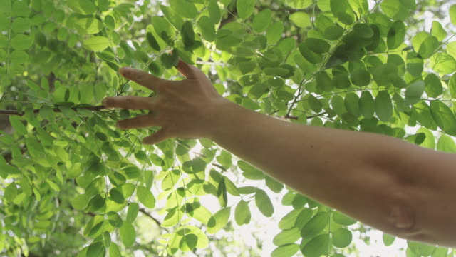 SLO MO Woman touching leaves of acacia tree video