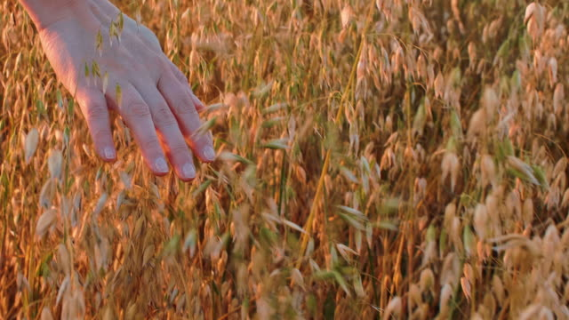 vídeos de stock e filmes b-roll de woman touching oat ears in autumn field with hand, partial closeup view - oats