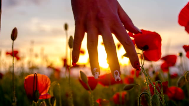 SLO MO Woman Touching Poppy Flowers At Sunset video