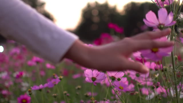 Woman Touching The Cosmos Flower Woman Touching The Cosmos Flower smelling stock videos & royalty-free footage