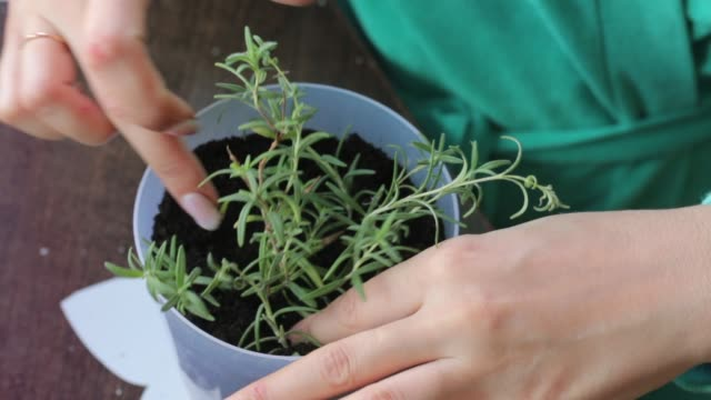 Woman transplants rosemary branches in a large pot. Adds land to it with a spatula. Woman transplants rosemary branches in a large pot. Adds land to it with a spatula. homegrown produce stock videos & royalty-free footage