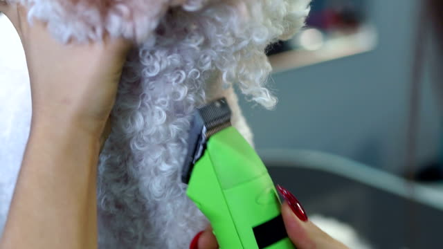 woman trimming a small a dog bichon frise with an electric hair clipper. - bichon frisé video stock e b–roll