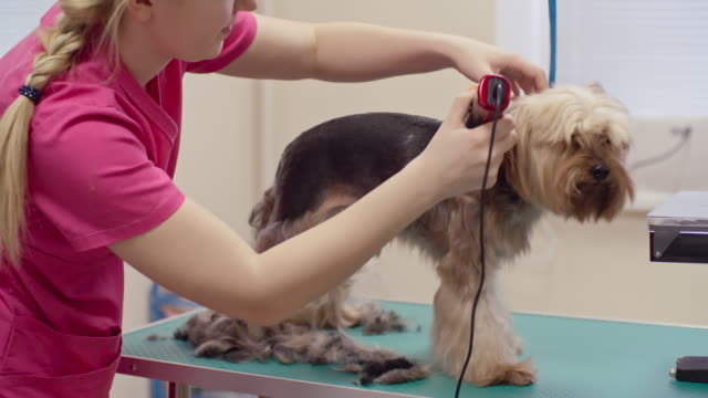 Woman Trimming Yorkshire Terrier video