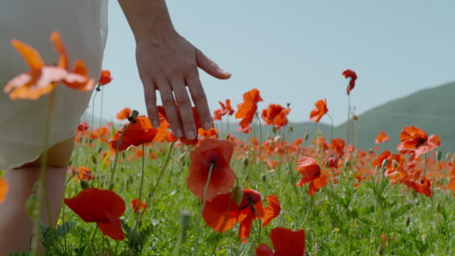 cu super slow motion woman walking in sunny field touching red poppy wildflowers - vivid 4k video stock videos & royalty-free footage