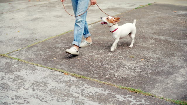 Woman walking with her Jack Russell Terrier Dog 4K Woman walking with her Jack Russell Terrier Dog jack russell terrier stock videos & royalty-free footage