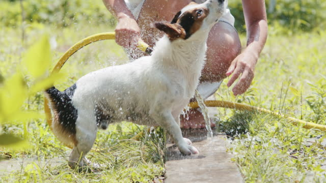 Woman wash dog in the garden. Slow motion shot of woman wash her dog in the garden from hose. jack russell terrier stock videos & royalty-free footage
