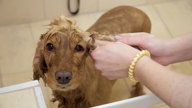 Woman washes fur of golden cocker spaniel in the bath video