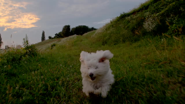 slo mo donna con un cane - bichon frisé video stock e b–roll