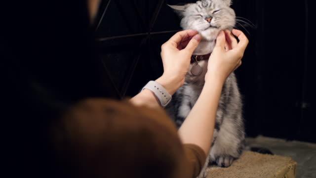 vídeos y material grabado en eventos de stock de mujer con gato americano de pelo corto, cámara lenta - felino