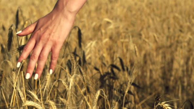 Woman with white nails with his back to the viewer in a field of gold wheat touched by the hand of spikes in the sunset light. Slow motion. Rich harvest Concept video