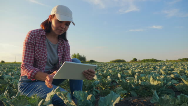 Woman work on the cabbage field Girl farmer working with a digital tablet in a cabbage field at sunrise. Inspection and registration of crop growth data. agricultural occupation stock videos & royalty-free footage