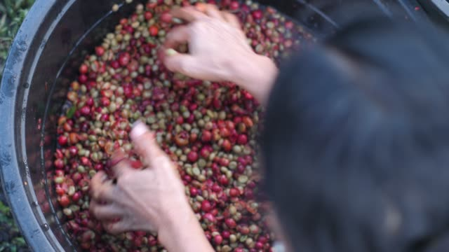 a woman worker washing skinned coffee beans in a plastic basin. - agricoltrice video stock e b–roll