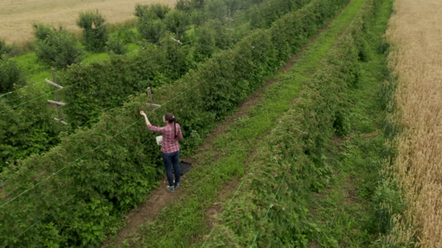 vídeos de stock e filmes b-roll de woman working in raspberry plant on a warm and sunny summer day - agricultora