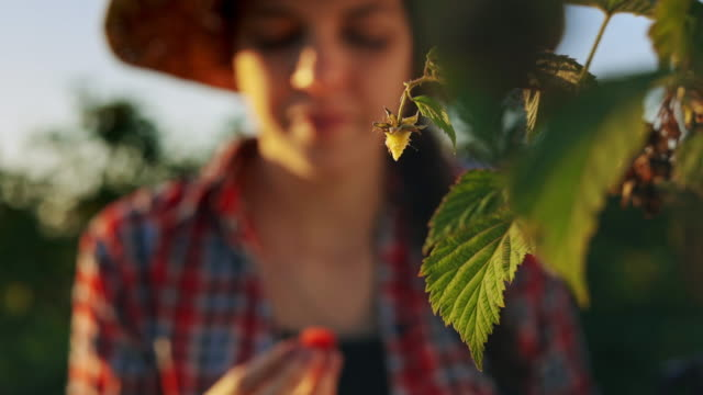 Woman working in raspberry plant on a warm and sunny summer day