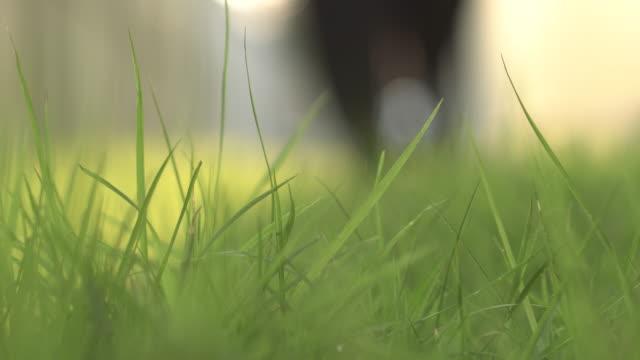 en kvinnas fot går in på gräset på morgonen (närbild) - single pampas grass bildbanksvideor och videomaterial från bakom kulisserna