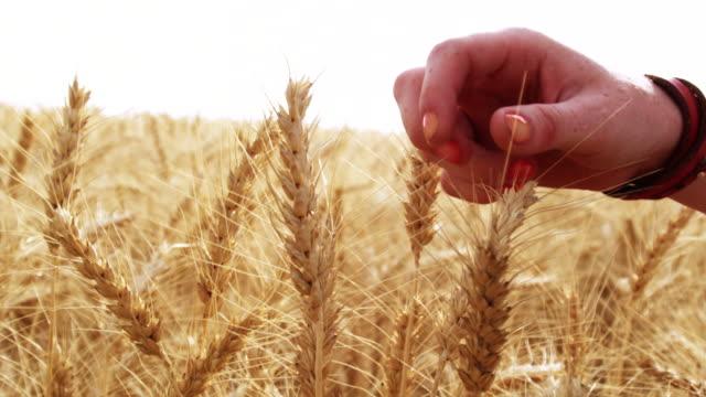 woman's hand caresses wheat. - intoning bildbanksvideor och videomaterial från bakom kulisserna