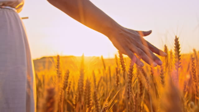 le orecchie di grano accarezzate a mano di ms woman sul campo al tramonto - grano graminacee video stock e b–roll
