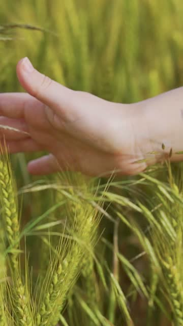 Woman's hand caressing wheat ears in the field video