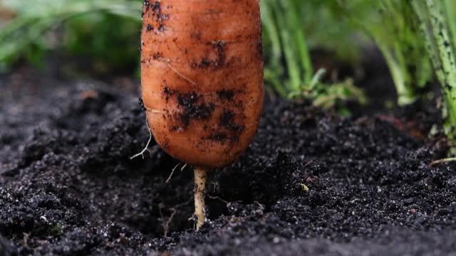 la mano di una donna in un guanto protettivo tira fuori le carote dal giardino. concetto di raccolto. rallentatore. agricoltura biologica - guanto indumento sportivo protettivo video stock e b–roll