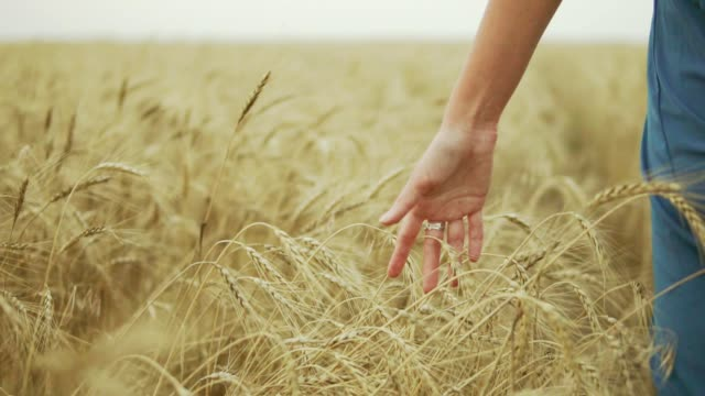 Woman's hand running through wheat field. Girl's hand touching wheat ears closeup. Harvest concept. Unrecognizable woman in a long blue dress walking through the field. Slow motion shot video