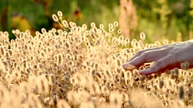 vidéos et rushes de main de femme caressant l'herbe pelucheuse - bras humain