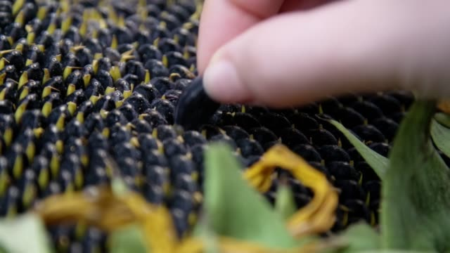Woman's hand taking sunflower seed from sunflower, slow motion in high resolution.