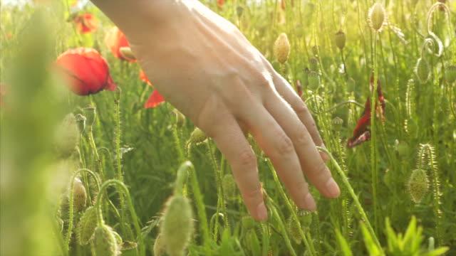 Woman's hand touching poppy.
