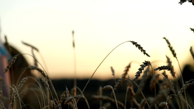 Woman's hand walking through wheat field. Girl's hand touching wheat ears closeup.Harvest concept. Harvesting video