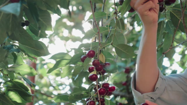 Woman's hands collecting raspberries.
