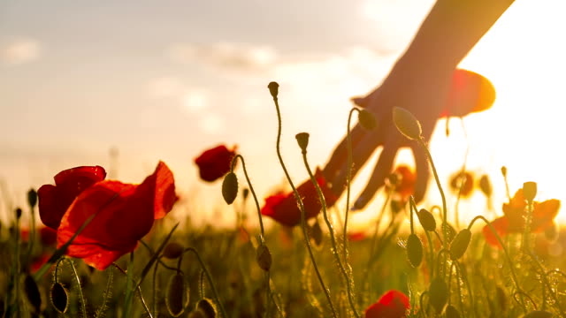 SLO MO Woman's Hands Touching Poppy At Sunset video