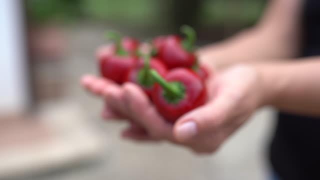 vídeos y material grabado en eventos de stock de manos de mujer con chiles rojos calientes. video de primer plano de deliciosas especias, condimentando verduras. ingredientes de paprika, cosecha sabrosa. chili peppers, concepto de comida vegetariana - cayena guindilla roja