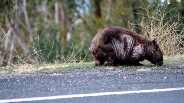 Wombat Grazing Roadside