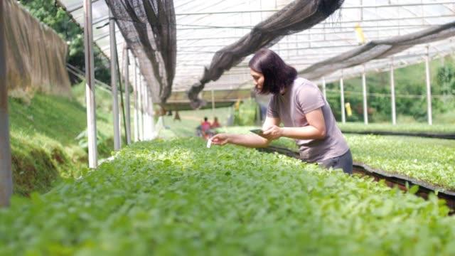 vídeos de stock, filmes e b-roll de agricultor de mulheres, controlando e verificando vegetal orgânico em estufa - acessibilidade