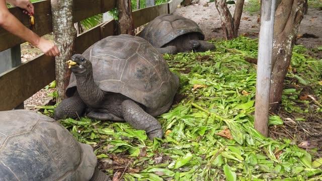 Women feeding giant tortoise SLOW MOTION: Women feeding a male of Aldabra Giant Tortoise, Aldabrachelys gigantea, a tortoise native to Aldabra atoll. Praslin in Seychelles, archipelago of Indian Ocean. giant tortoise stock videos & royalty-free footage