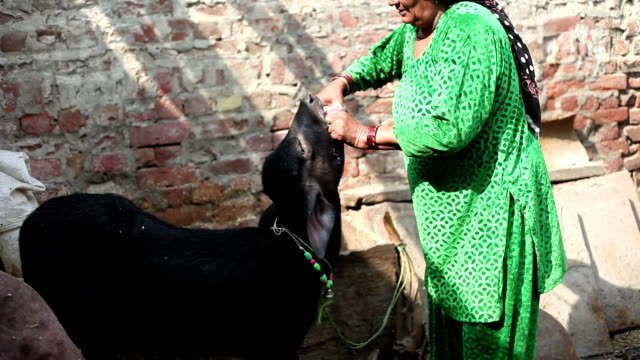 Women giving medicine to cattle - video
