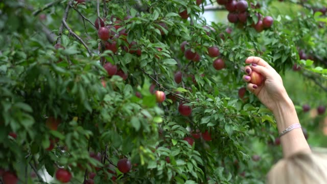 Women hand picking red plum Women hand picking red plum from branch plum stock videos & royalty-free footage