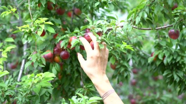 Women hand picking red plum