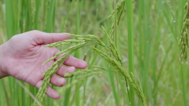 cu : women hand tenderly touching jasmine rice - pole ryżowe filmów i materiałów b-roll