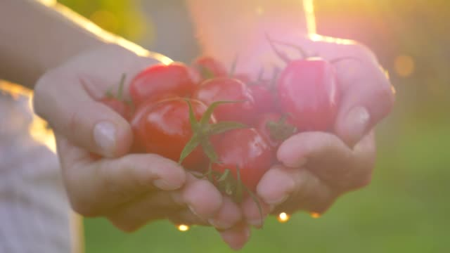 women hands in the palms holding tomatoes and show them to the camera at sunset - pomodoro video stock e b–roll