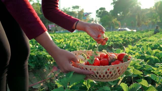 vídeos de stock e filmes b-roll de mulher escolher morango em exploração - picking fruit