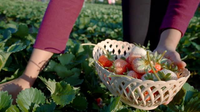 women Picking Strawberry in farm video