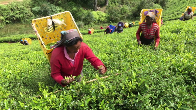 Women Picking Tea in Sri Lanka video