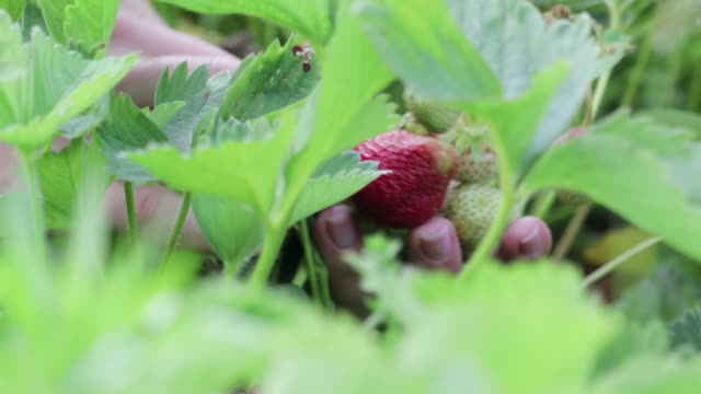 Women's hands collecting in the palm of a ripe red strawberry from green plants in the garden
