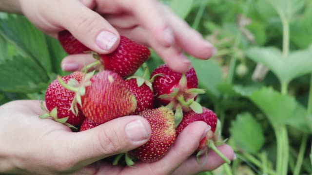 Women's hands collecting in the palm of a ripe red strawberry from green plants in the garden Close-up of female hands collecting in the palm of a ripe red strawberry from green plants in the garden. Healthy food concept crop plant stock videos & royalty-free footage