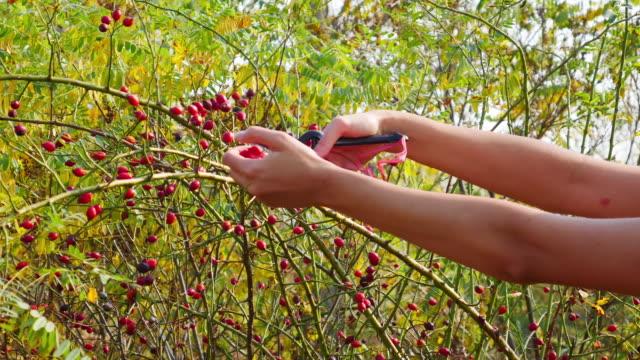 mani femminili che raccolgono frutta rosa cane con forbici da giardino nell'autunno soleggiato. rosa rossa canina sul cespuglio in natura. - cinorrodo video stock e b–roll