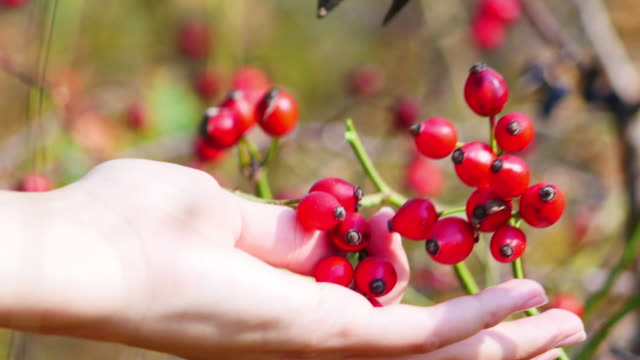 women's hands harvesting rose hip fruit with garden scissors. red rose hip on bush in nature. for food and medicine. - cinorrodo video stock e b–roll