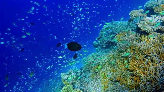 Wonderful coral reef with lots of school of damselfishes Diving at wonderful coral reef with lots of different School of damselfishes. (Maldives) coral cnidarian stock videos & royalty-free footage