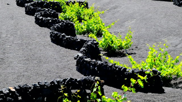 wonderful view vine plant protected by small walls of rocks in Lanzarote video