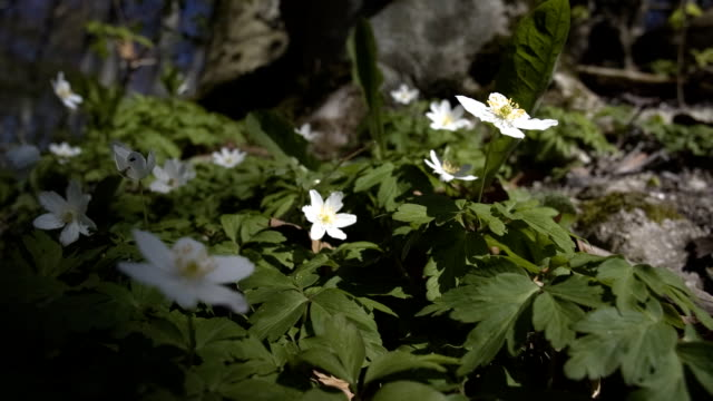 Wood anemone – film
