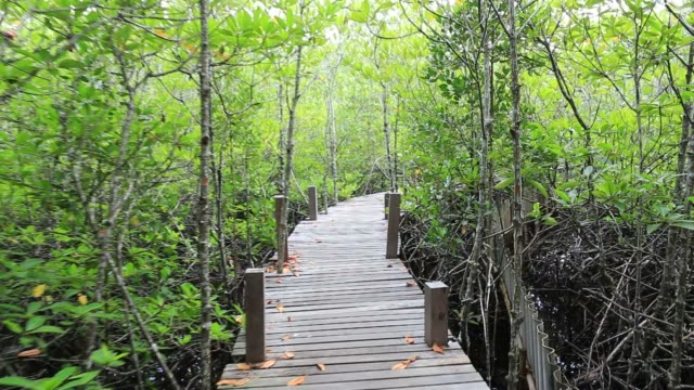 wood bridge and mangrove forest video